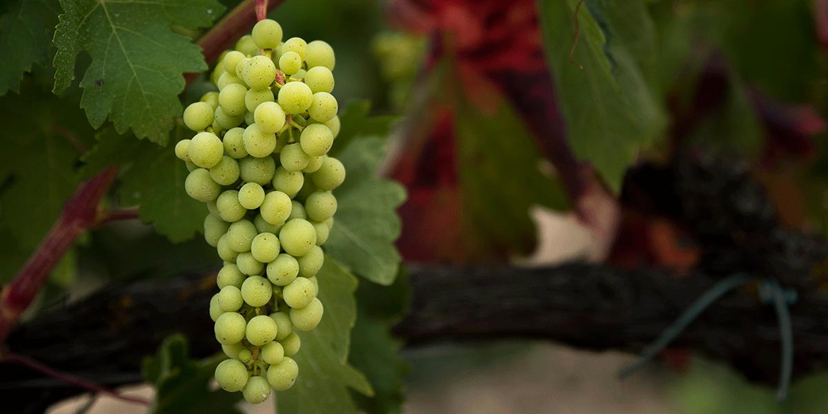 Uva blanca en el viñedo