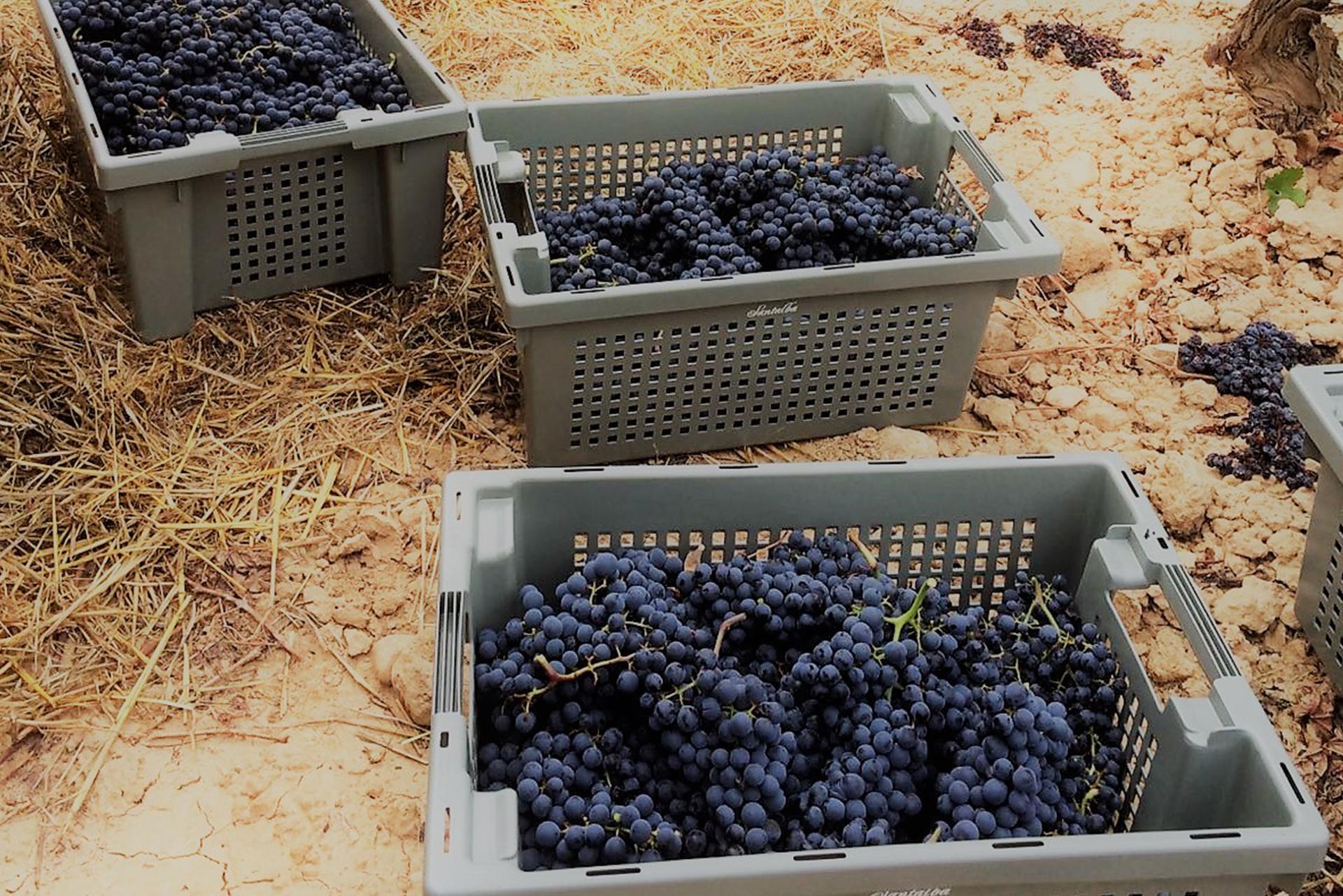 Durante la recogida de la uva