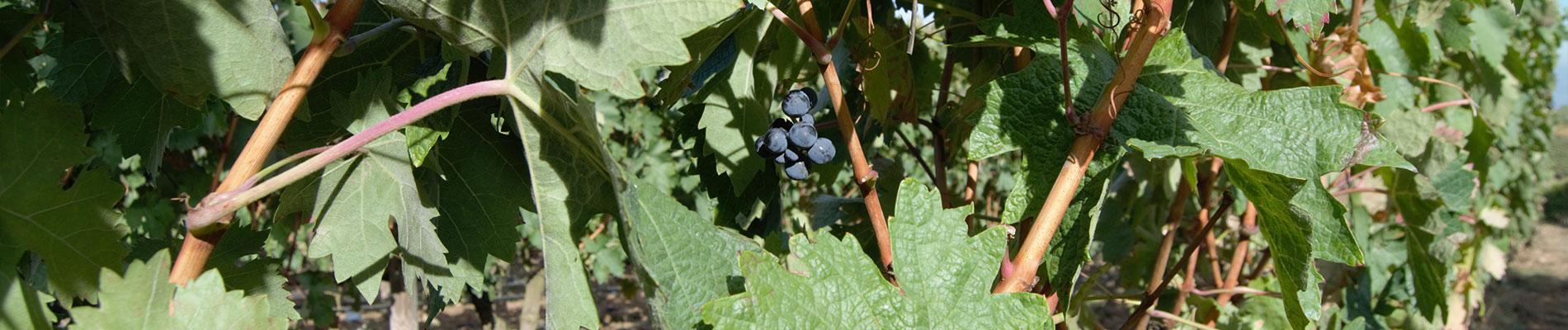 葡萄园里的葡萄